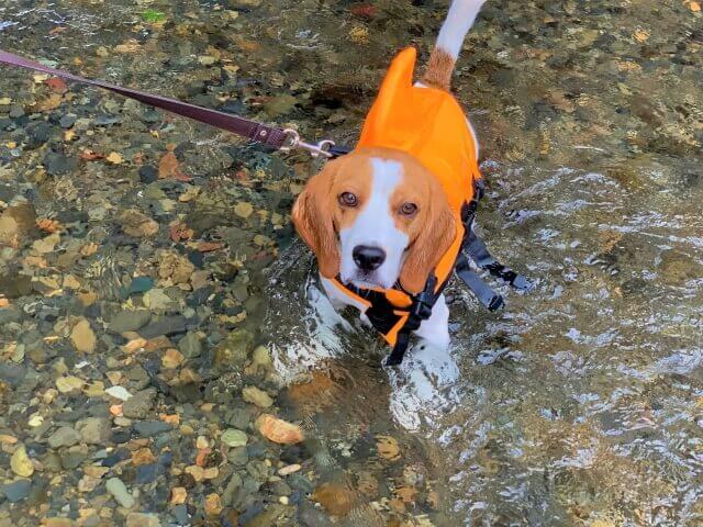 ペットとお出かけ・川で泳ぐ愛犬