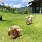 愛犬レポート:ショコラ・アンジュ